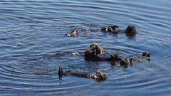 Otters in the water (Franklyn W) Tags: biketour bikecamping bikeride touring touringbike california pacificcoasthighway hwy1 cahwy1 bigsur kirkcreek sansimeon cambria cayucos morobay morobaystatepark pacificocean seaotter twitter tumblr morrobay morrobaystatepark morrorock morrostrandstatebeach
