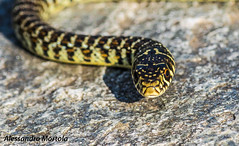 Biscia d'acqua (Alessandro Mortola) Tags: biscia natura nature serpente snake nitidezza sharpness bokeh verde giallo contrasto