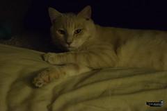 _DSC6717 (skullyarts) Tags: cappuccino kitty cat photography photographer noedit animal animals art tabby
