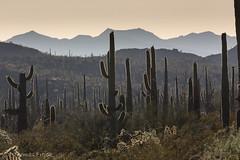 Once upon a time in the west (Thomas Frejek) Tags: 2016 arizona carnegieagigantea organpipecactusnationalmonument riesenkaktus saguaro usa ajo us