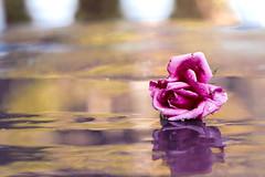 una rosa es una rosa (rosalgorri1) Tags: flor rosa desenfoque bokeh reflejo gotas rose