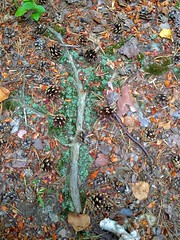 (mikeliebler222) Tags: mikeliebler mikey showing root roots rooting mountain moss branches branch sticks dirt red turning turn changing changed foliage fall floor trees tree log woodlands woodland woods forest ground growing birch birches leaves dead pineneedles pine pinecones pinecone