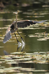 Shot of the day !!! (Photography by Ramin) Tags: blue heron take off wildbirds water reflection bif bird ottawa ontario canada beauty beautyoffeather ngc