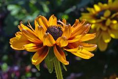 Late Summer Heat (Vidterry) Tags: rudbeckia blackeyedsusan