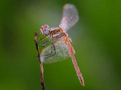 macho rojo sobre verde (Santi BF) Tags: sympetrumfonscolombii sympetrum liblula libllula dragonfly odonato odonata aproximacin anisptero anisoptera