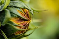 A Sun in the Making (eriklvquist) Tags: flower sun yellow green orange bokeh sunflower depth closeup macro olympus omdem1 mzuiko1240mmf28