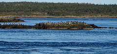 Peter's Island Birds (tvordj) Tags: brierisland novascotia birds oceanscape