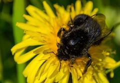 Hummel (mandykunz) Tags: hummel insekten makro lwenzahn