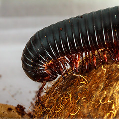 Shongololo - Chongololo (Paul Parkinson LRPS (parkylondon)) Tags: africa train insect january millipede creepycrawly shongololo 2013 awps chongololo