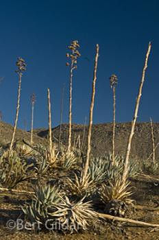 Agave the century plant