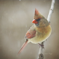 she's a lady (Dailyville) Tags: bird female cardinal backyardbirds theworldwelivein dailyville ruralohio shesalady ohiofoothills