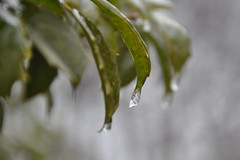 icedrops (christiaan_25) Tags: winter cold green ice nature leaves frozen droplets cloudy january icy mortonarboretum americanholly ilexopaca iceencrusted