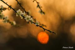 夕照寒梅 - Sunset of Plum Blossoms - Taichung City municipal Shuang-Shih Junior High School (prince470701) Tags: taiwan sonya850 sony135zaf18 台中市雙十國中 taichungcitymunicipalshuangshihjuniorhighschool 夕照寒梅 sunsetofplumblossoms