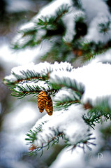 Day 19 of 365 (DAFW Photography) Tags: snow tree pine cone bokeh bokehwhores