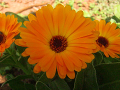 IMG_0825edit (Neeta Kulkarni4) Tags: floral yellowflowers niceflower dairyflower