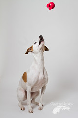 Ready (Penelope Malby Photography) Tags: dog canine whippet brownandwhitedog whippetcross tanandwhitedog penelopemalbyphotography
