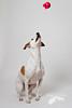 Ready (Penelope Malby Photography) Tags: dog canine whippet brownandwhitedog whippetcross tanandwhitedog penelopemalbyphotography