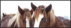 NEIGE🌲 (Marie Jestin) Tags: bretagne breton brittany cheval jument trait horse finistère blinkagain animals bestofblinkwinners chevalbreton chevaux drafthorse france snow panasonic blink4gallery bestofsuperstars neige happynewyear happynewyear2017 hiver