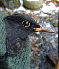 First-winter male Blackbird (Katie Fuller) Tags: winter bird january science turdusmerula blackbird thrush ringing banding eurasianblackbird commonblackbird birdringing uploaded:by=flickrmobile flickriosapp:filter=nofilter