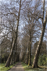 Gentle Giants (AshTree25) Tags: path avenue nationaltrust leaning pathway 41 treesinarow 113picturesin2013 saltramhouseandgardens