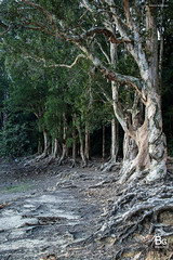 Paperbark Trees :: Shing Mun Reservoir (), Hong Kong (hk_bellchan) Tags: bridge trees sunset hk moon landscape monkey steel jubilee reservoir hong kong wan    shing afterglow  mun paperbark melaleuca       tsuen bellmouth shingmoon