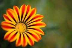 Sunshine (Shyamanta Sarma) Tags: flower macro nature zeiss nikon 100mm carl makro assam planar carlzeiss brahmaputra d700 zf2 nikond700 makroplanart2100 planart2100 makroplanart2100mmzf2 zeisscontest2012