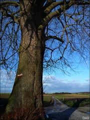 314/365 - Par l! (chando*) Tags: winter red white tree rouge countryside hiver champs fields tervuren gr roads cobbles duisburg campagne arbre blanc pavs limetree balise chemins tervueren vlaamsbrabant tilleul waysign brabantflamand sentierdegranderandonne