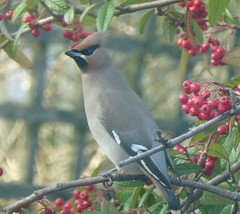 waxwing in kirriemuir (gus guthrie1) Tags: bird nature birds scotland scenery berries angus wildlife birding scottish loch birdwatching rare waxwing kirriemuir migrant scottishbirds kinnordy waxwinginkirrie