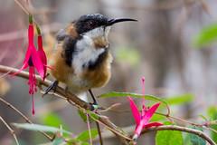 Eastern Spinebill 2013-02-12 (_MG_0316) (ajhaysom) Tags: australia lorne australianbirds easternspinebill spinebill acanthorhynchustenuirostris lemonadecreekcottages