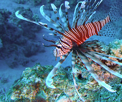 Clearfin Lionfish (Pterois Radiata) (Clearvisions) Tags: fish danger 10 redsea hon tcw sharksbay radiata pterois clearfin clearfinlionfish bestcapturesaoi vahon clearvisions tonycward tcwimages tcward