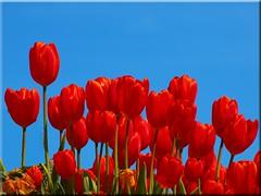 Happy Valentines Day (Ostseetroll) Tags: flower spring tulips blossom blumen olympus frühling tulpen blüten e620