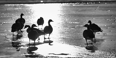 Ice Patrol | 047/365 2013 (mfhiatt) Tags: blackandwhite bw ice birds silhouette dusk ducks monochrom day47 day47365 3652013 mfhiatt 2013inphotos michaelfhiatt 365the2013edition 16feb13