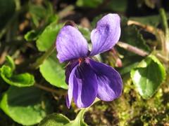 la fameuse VIOLETTE DE TOULOUSE (LILI 296...) Tags: france flower macro fleur bokeh hiver violet violette midipyrénées canonpowershotg12