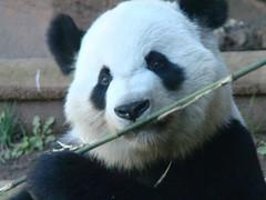 Xi Lan - boo master (LCNessie) Tags: atlanta giant zoo cub lan yang po lun pandas lunlun xi giantpandas xilan