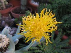 Cheiridopsis (wallygrom) Tags: cactus england cacti westsussex succulents angmering img3851 cheiridopsis cactuscollection manornursery manornurseries