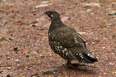 """Spruce Grouse • <a style=""""font-size:0.8em;"""" href=""""http://www.flickr.com/photos/63501323@N07/8503677987/"""" target=""""_blank"""">View on Flickr</a>"""