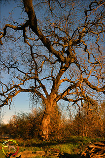 Big_Oak_Tree_02