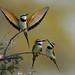 White Throated Bee Eater (Merops albicollis), Samburu, Kenya (Explored)