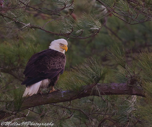 Eagle in the Pines