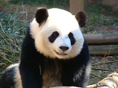 Checkin' out da chickies! (LCNessie) Tags: atlanta giant zoo cub lan yang po lun pandas lunlun xi giantpandas xilan