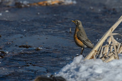 Robin_42871.jpg (Mully410 * Images) Tags: winter snow cold bird ice robin birds birding birdwatching americanrobin birder tcaap ahats burdr ardenhillsarmytrainingsite