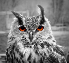 toowit-toowoo ^^ (pics by paula) Tags: uk england bw white black colour english nature beautiful barn canon point eyes europe shoot european wildlife feathers surrey powershot owl wise british amateur selective g12 picsbypaula