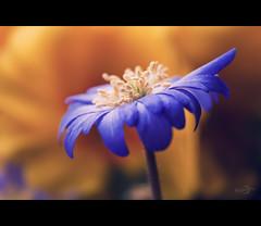 Anemone (Windrschen) (Photofreaks [Thank you for 2.000.000 views]) Tags: spring anemone anemones frhling windrschen anemonen bestcapturesaoi elitegalleryaoi adengs wwwphotofreaksws shopphotofreaksws