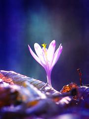 (Alin B.) Tags: nature march spring crocus martie martisor branduse alinb