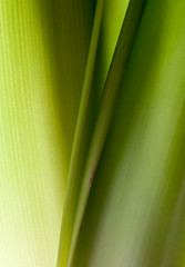 Between the Leaves (lclower19) Tags: abstract macro green leaves closeup nikon amaryllis hmm between 105mm d90 macromondays forgottenspaces