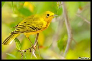 Canario de Mangle, Reinita amarilla (Dendroica, Setophagas petechia) Yellow Warbler, P.R.