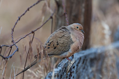 Mourning Dove on Santa Cruz Island (Lee Rentz) Tags: california ranch wild usa santacruz bird nature animal america fence island dove wildlife pacificocean barbedwire northamerica perched mourningdove channelislands songbird santacruzisland zenaidamacroura perching channelislandsnationalpark