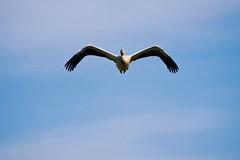 Pelican (James Ng Photography) Tags: africa bird nature animals flying wings sony du des national westafrica senegal alpha dslr parc sanctuary oiseaux a700 jimsnapper djoudj 2013
