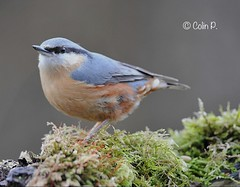 Eurasian Nuthatch (Sitta europaea) Explore 16th March #438 (Col-page) Tags: