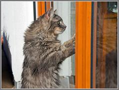Anybody at home ? (FocusPocus Photography) Tags: cat feline waiting chat kitty gato katze kater backdoor fynn tre longhaired wartet catflap katzentre langhaarkatze fynnegan